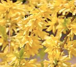 Forsythia and Pesach